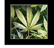Side Effects Of Eating Weed Brownies